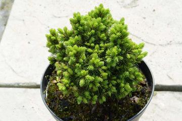 Krzewy iglaste (1)