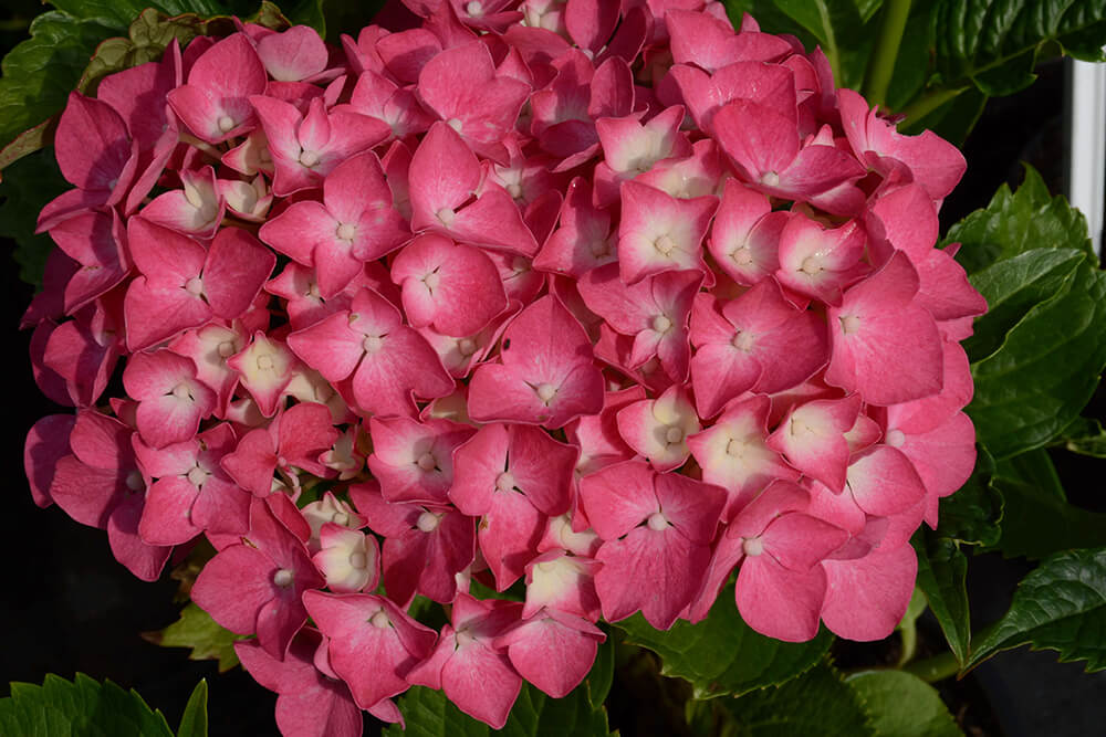 Krzewy liściaste-pogotowieogrodnicze