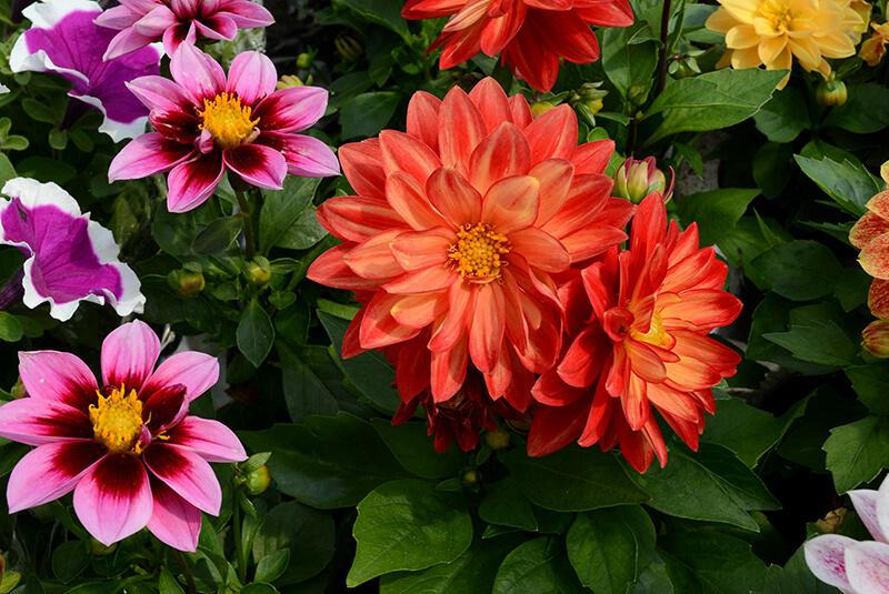 Kwiaty balkonowe-łapanow